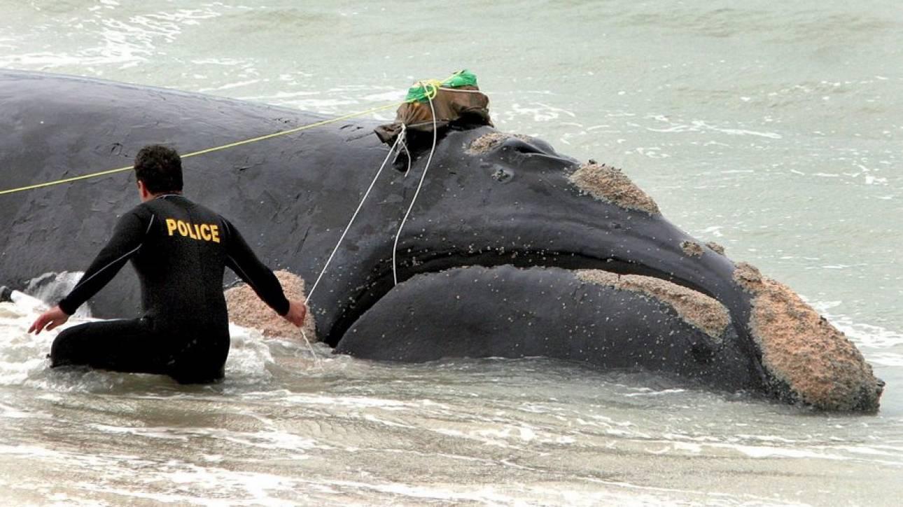 Στα πρόθυρα της εξαφάνισης οι φάλαινες του Βόρειου Ατλαντικού