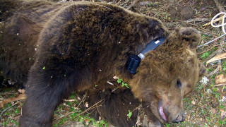 Δύο αρκούδες σκοτώθηκαν σε σημείο «καρμανιόλα» στην Εγνατία Οδό