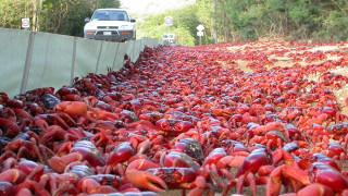 Το ταξίδι των κόκκινων καβουριών live από τη Google