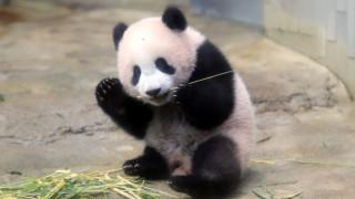 Το μωρό πάντα Xiang Xiang παρουσιάστηκε στο κοινό και «κλέβει» καρδιές (pics&vids)