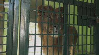 Εγκαταλείποντας το Χαλέπι: Το μακρύ ταξίδι επιβίωσης 13 άγριων ζώων