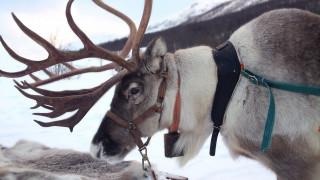 Νορβηγία: Πρωτοφανής δικαστική απόφαση για θανάτωση δεκάδων ταράνδων