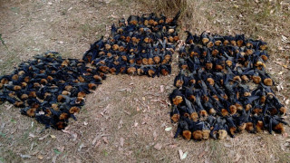 Εκατοντάδες νυχτερίδες νεκρές από τον καύσωνα στην Αυστραλία – Έβρασε ο εγκέφαλός τους (pics)