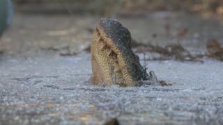 Τι κάνει ένας κροκόδειλος με το κεφάλι έξω από την παγωμένη λίμνη;