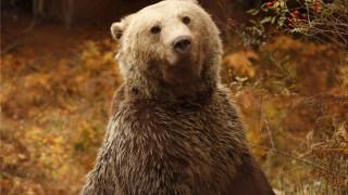 Σε χειμερία νάρκη άρχισαν να πέφτουν οι αρκούδες του «Αρκτούρου» (pics)