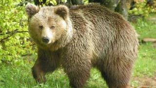 Οι αρκούδες του «Αρκτούρου» άρχισαν να πέφτουν σε χειμερία νάρκη