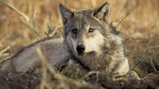 Εντοπίστηκε ο λύκος που «το έσκασε» από καταφύγιο στη Βρετανία