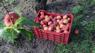 ΕΛΓΑ: Πότε θα δοθούν οι αποζημιώσεις στους ροδακινοπαραγωγούς