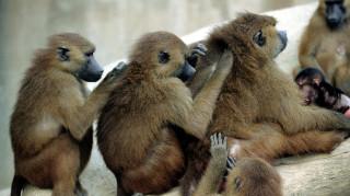 Απόδραση μπαμπουίνων προκάλεσε… πανικό σε ζωολογικό κήπο του Παρισιού!