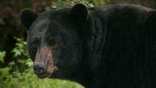 Καλιφόρνια: Τραυματισμένες αρκούδες θεραπεύτηκαν από δέρμα ψαριού