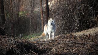 Αγρότης ονόμασε τον λύκο του Τραμπ προς τιμήν του Αμερικανού προέδρου