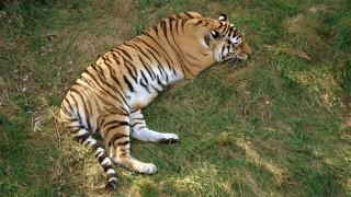 Τίγρης κατέφυγε σε χωριό για να «ζητήσει βοήθεια»