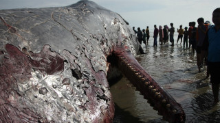 Το κουφάρι μίας τεράστιας φάλαινας ξεβράστηκε στις ακτές της Ινδονησίας