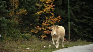 Η αγελάδα που το 'σκασε και έγινε ηρωίδα