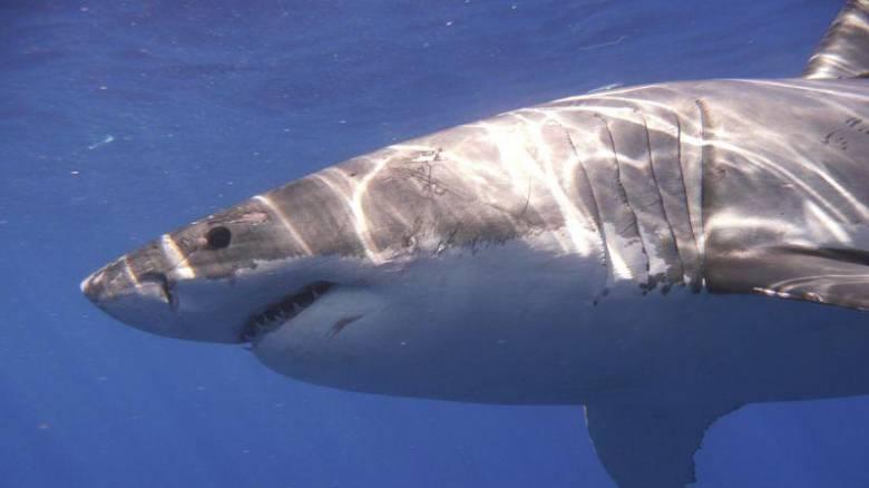Χιλιάδες λευκοί καρχαρίες ζουν στη θαλάσσια περιοχή της Αυστραλίας