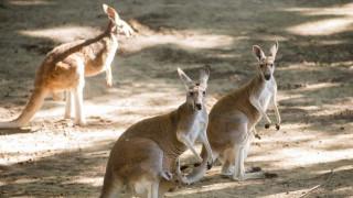Αυστραλία: Κυνηγός τα «έβαλε» με καγκουρό και το μετάνιωσε πικρά!