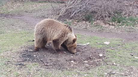 Αρκουδάκι που πωλούνταν για 1.100 ευρώ κατασχέθηκε και βρίσκεται πλέον στο κέντρο «Αρκτούρος»
