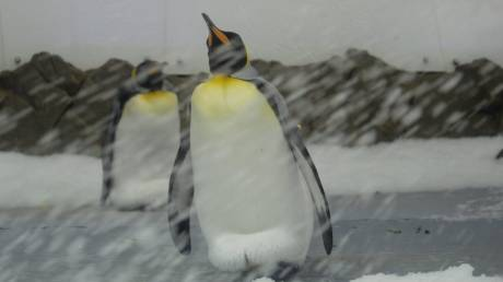Με εξαφάνιση ως το τέλος του αιώνα κινδυνεύει ο βασιλικός πιγκουίνος