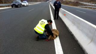 Νεκρό εντοπίστηκε αρκουδάκι έξω από την Κοζάνη