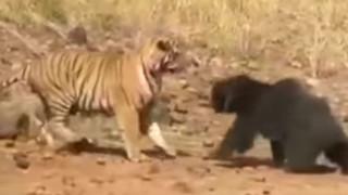 Τίγρης επιτέθηκε σε αρκούδα και το... μετάνιωσε πικρά! (vid)