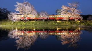 Η ετήσια «τελετή λατρείας» για τα άνθη κερασιάς της Ιαπωνίας