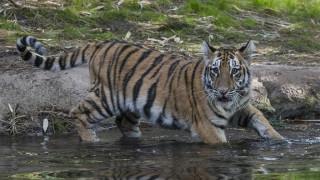 Ινδονησία: Σκότωσαν τίγρη της Σουμάτρας και την κρέμασαν έξω από δημόσιο κτήριο