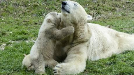 Πολικό αρκουδάκι «σταρ» έκανε τα πρώτα του δημόσια βήματα!