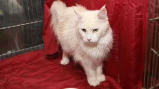 Ο Αχιλλέας, ένας λευκός, κουφός γάτος, θα προβλέπει τα αποτελέσματα των αγώνων του Μουντιάλ