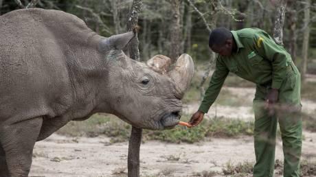 Πέθανε ο τελευταίος αρσενικός λευκός ρινόκερος: Σε θανάσιμο κίνδυνο το είδος