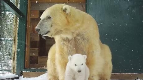 Πολικό αρκουδάκι έγινε σταρ από τα πρώτα του δημόσια βήματα