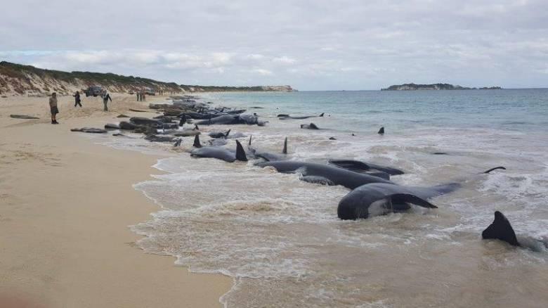 Αυστραλία: 130 φάλαινες εγκλωβίστηκαν και πέθαναν σε ακτή