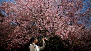 Κερασιές σε κίνδυνο: κολεόπτερο από την Κίνα απειλεί το hanami της Ιαπωνίας
