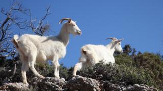 Οι κατσίκες της Κρήτης πηγή… έμπνευσης για Γερμανό επιστήμονα