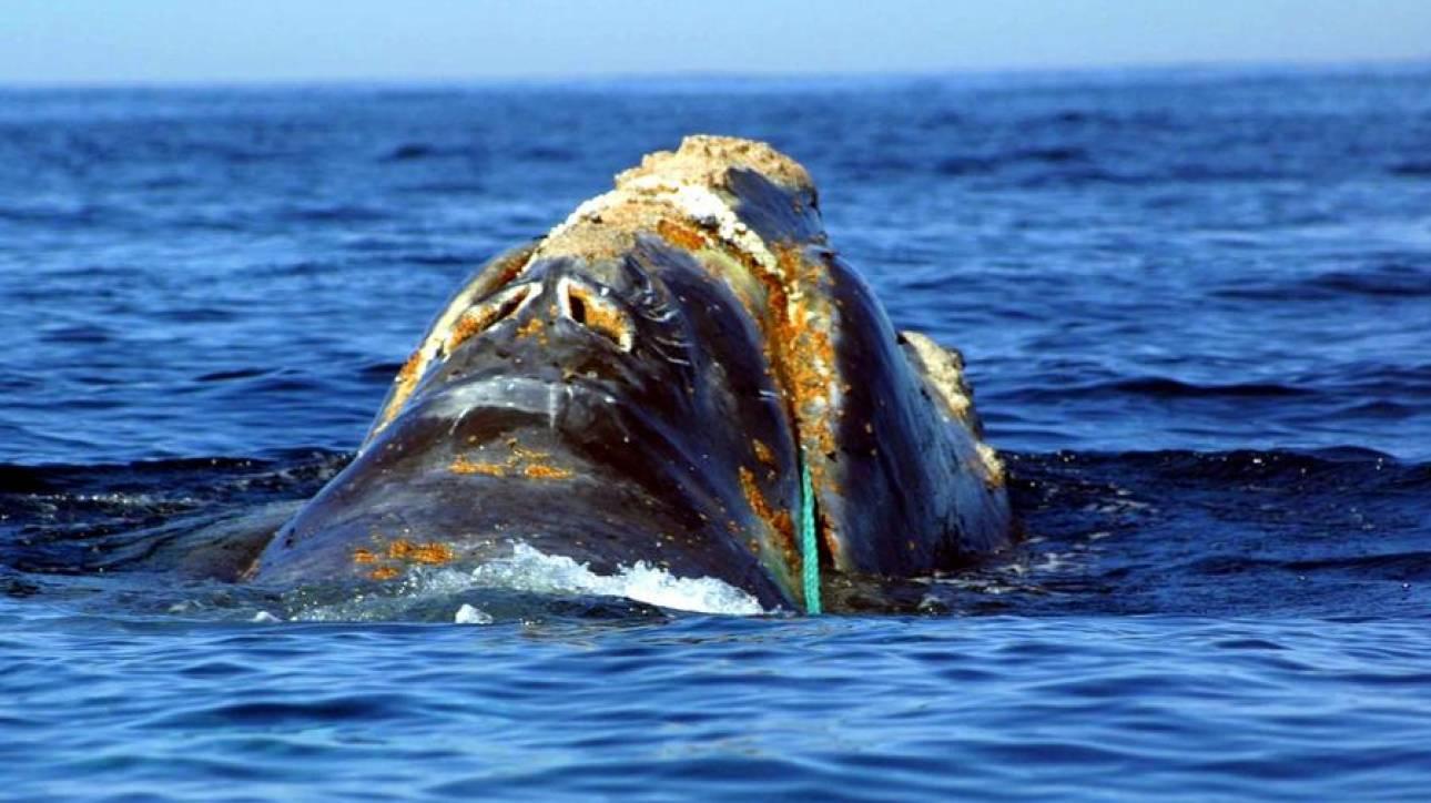 Φόβοι για την εξαφάνιση της φάλαινας του Βορείου Ατλαντικού