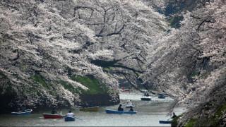 Η άνοιξη μπήκε στο Τόκιο - Εντυπωσιακές εικόνες από τις ανθισμένες κερασιές