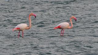 Τα ροζ φλαμίνγκο επέστρεψαν στην Κέρκυρα