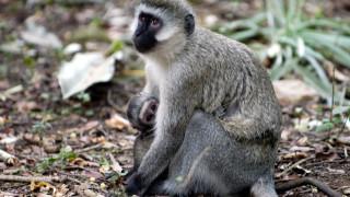 Ινδία: Πίθηκος άρπαξε βρέφος από το σπίτι του και βρέθηκε νεκρό