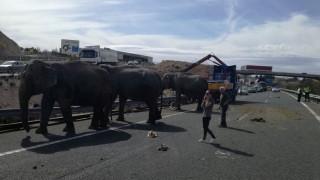 Ισπανία: Ελέφαντες περιφέρονται σε αυτοκινητόδρομο - Νεκρός ο ένας από τροχαίο