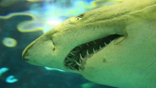 Λευκός καρχαρίας διακόπτει… αστυνομική επιχείρηση