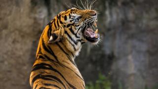 Ινδή «έδωσε μάχη» με τίγρη για να σώσει την κατσίκα της