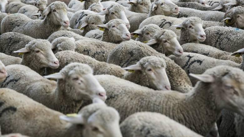 Τι σκότωσε 2.400 πρόβατα εν πλω προς τη Μέση Ανατολή: Έρευνα από τις αρχές της Αυστραλίας