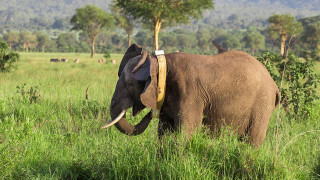 90% του πληθυσμού ελεφάντων έχει χαθεί τα τελευταία 40 χρόνια: Η Τανζανία αναλαμβάνει δράση
