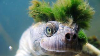 Η χελώνα με το punk-rock «χτένισμα» απειλείται με εξαφάνιση