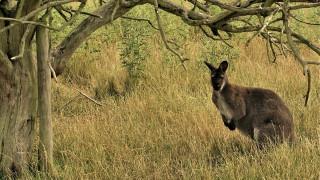 Σκότωσαν καγκουρό σε ζωολογικό κήπο - Του πετούσαν πέτρες για να το κάνουν να πηδήξει