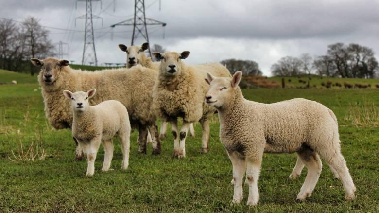 Μεγαλύτερος ο κίνδυνος για σκλήρυνση κατά πλάκας σε όσους βρίσκονται κοντά σε πρόβατα