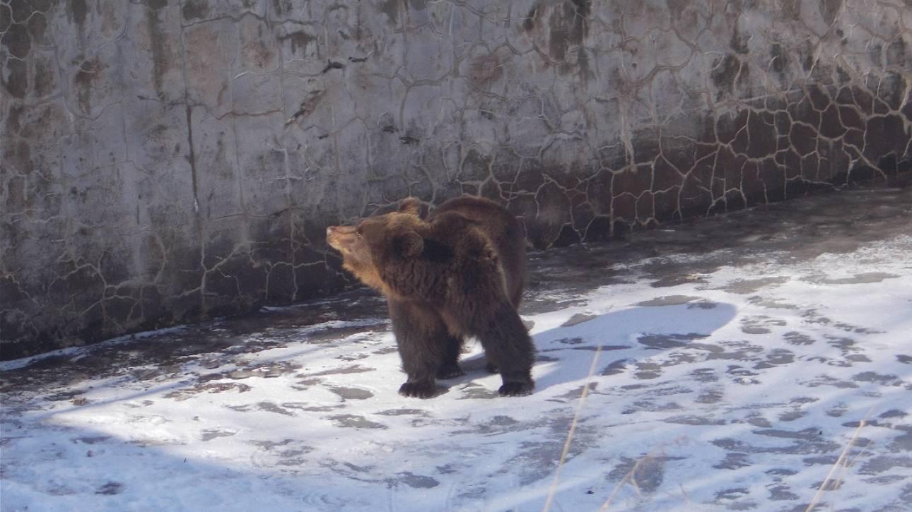 Άρχισε τις βόλτες η Χριστίνα, η αρκούδα που είχε διασωθεί τα Χριστούγεννα