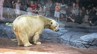 Η Σιγκαπούρη θρηνεί τον Inuka: Πέθανε η μοναδική «τροπική» πολική αρκούδα (pics)