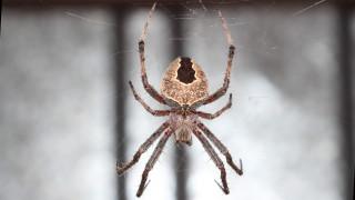 «Νούμερο 16», η γηραιότερη αράχνη στον κόσμο δεν πέθανε από γηρατειά