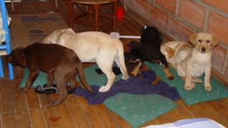 Κολομβιανός κτηνίατρος «έραβε» ηρωίνη στα στομάχια κουταβιών