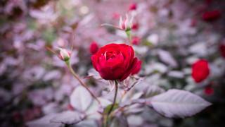 Αποκωδικοποίηθηκε το DNA του τριαντάφυλλου: Τι ανακάλυψαν οι επιστήμονες